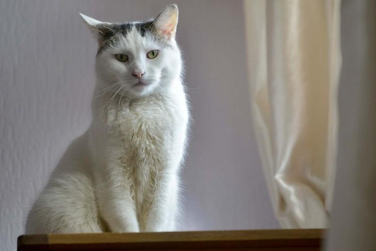 Angel-gato-hermafrodita