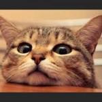 gato-apoyado