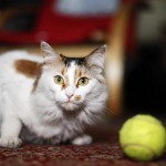 gato-pelota-tenis