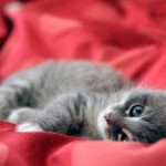 gato-tumbado-
