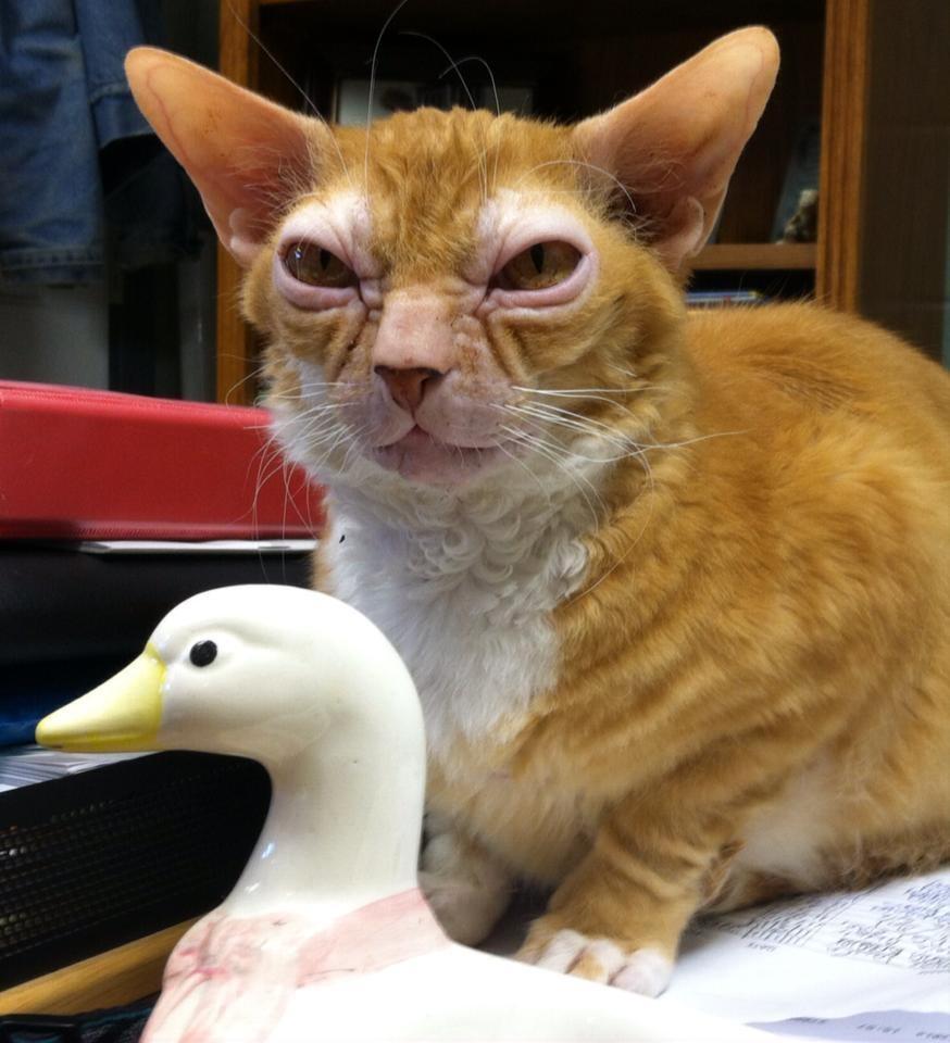 gato-yoda